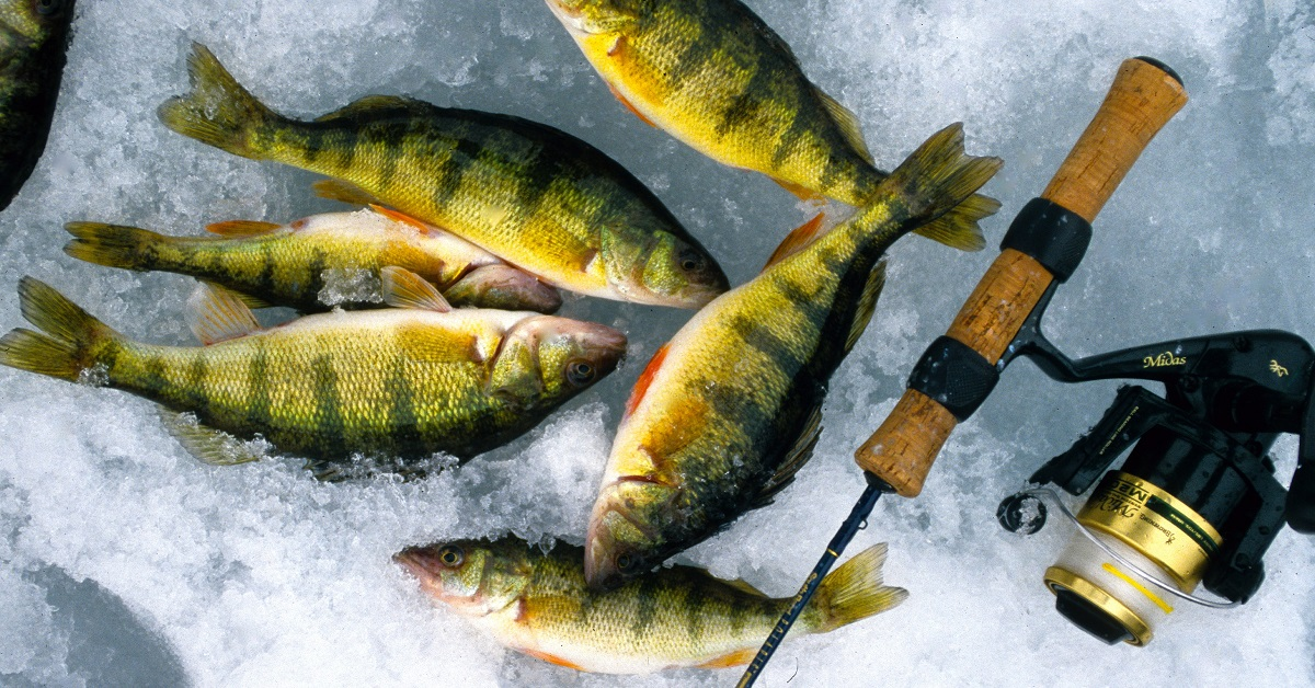 Ice fishing for perch tips for catching perch through for Yellow perch fishing secrets